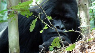 This is Guhonda, a huge silverback in Rwanda